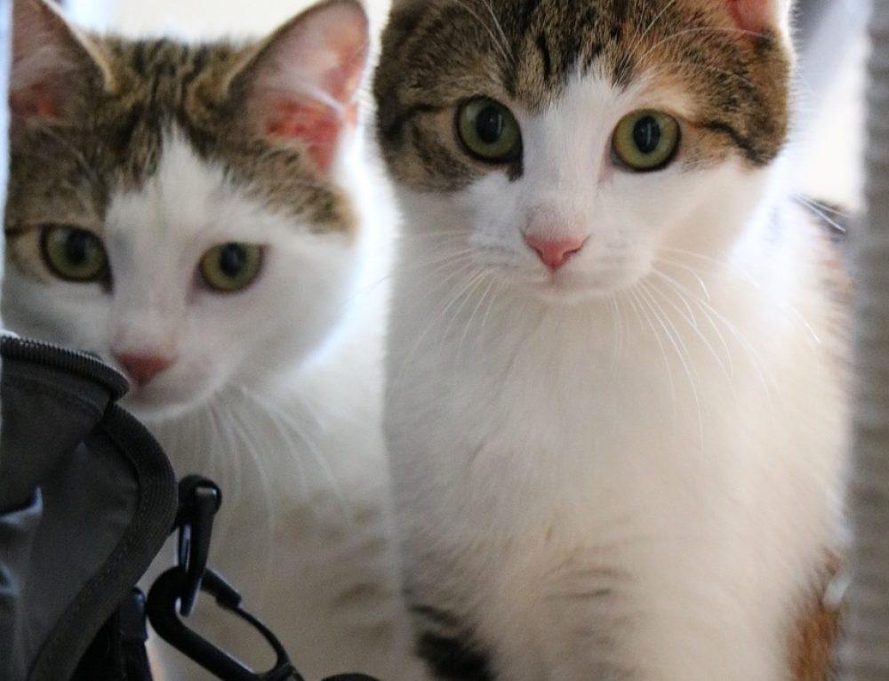 Coco, Lou und Snoopy- Drei Jungkatzen, die viel Beschäftigung brauchen!