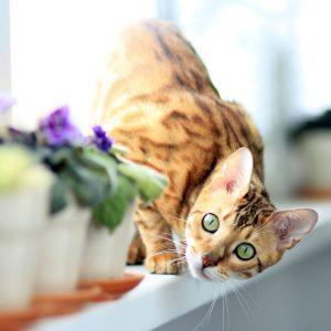 Workshop: Katzenzucht & Genetik für zukünftige und bestehende Katzenzüchter mit Ausbildner @petraott aCATemy Katzenschule
