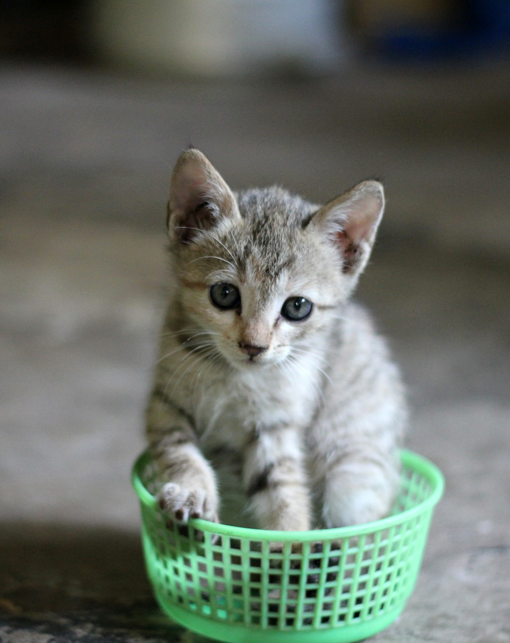 """1. Österreichische Katzensitter-Ausweis der aCATemy- Petra Ott´s Katzenschule für Menschen Bei der Katzensitter-Lizenz/Katzensitter-Ausweis handelt es sich um den Nachweis einer fundierten Ausbildung zur bedarfsgerechten Katzenhaltung. Hiermit zeichnet sich der Lizenznehmer aus, professionelle Kenntnisse über das Haustier """"Die Katze"""" erlangt zu haben. Der hauptsächliche Vorteil besteht darin, dass Sie die Lizenz einmal erwerben und dann ohne jegliche weiteren Kosten für immer nutzen! Die wichtigsten Kenntnisse im Überblick: – Anatomie der Katze – die Bauanleitung – Physiologie der Katze – Funktionsanleitung – Ernährung der Katze – Grundbedürfnisse der Katze – Körpersprache Basic – Beschäftigung mit Katzen – Charaktereigenschaften und Persönlichkeiten der Katzen – Erste Hilfe für Haustiere – Checkliste für Katzensitter – Verhalten bei Problemkatzen – Gefahren im Haushalt für Katzen erkennen Die Workshops findet an einem Tag statt und bestehen aus *) Kommunikation und Körpersprache der Katze *) Richtige Beschäftigung *) Katzensitter-Ausweis"""